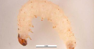 Mklik mącznik, źródło: http://padil.gov.au/