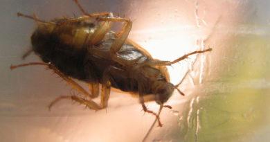 Jak zwalczać prusaki i karaluchy?